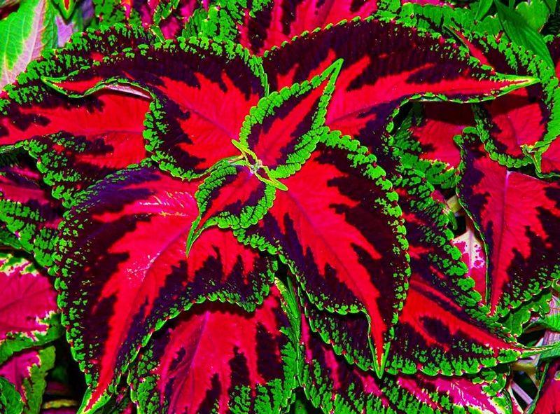 Кімнатна рослина кропива червона 1