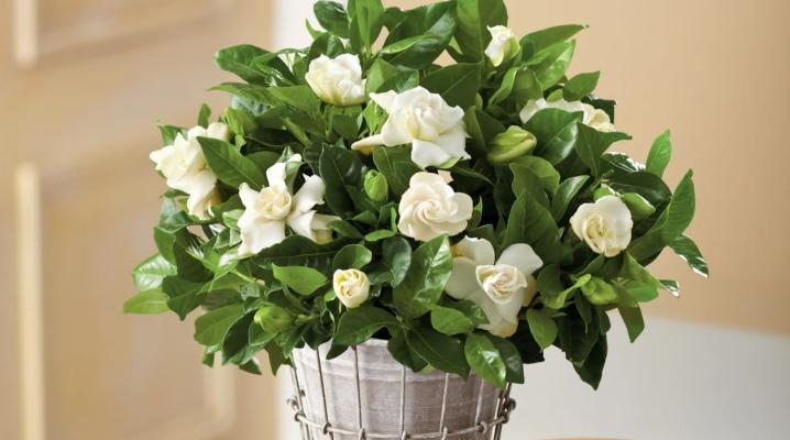 Кімнатні рослини з білими квітами (28 фото) домашній гемантус білоквітковий і квітка, схожий на до