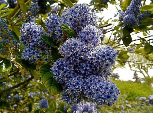 Краснокореннік ceanothus arb trewithen blue