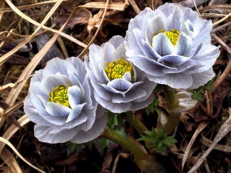 Купальниця фото квітки, опис рослини, як виростити, посадити, доглядати