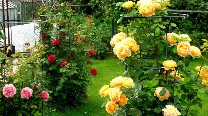 Кущові троянди (62 фото) сорти садових троянд, особливості мелкоцветкових рослин