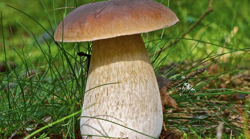 Лисички - фото відмінностей їстівних і неїстівних видів цього гриба