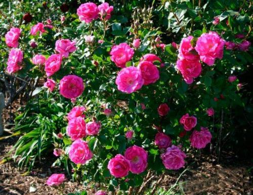 Мілкоцвітна троянда дачне життя