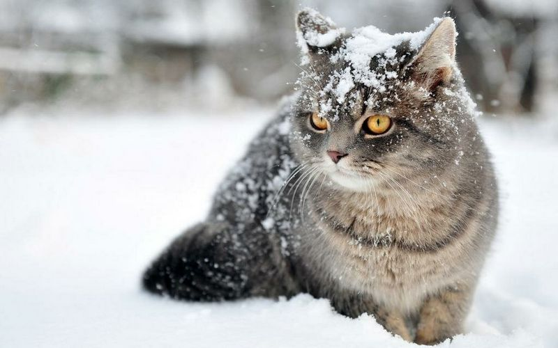Чи мерзнуть кішки взимку на вулиці, при якій температурі вони можуть жити поза приміщенням, як виживають