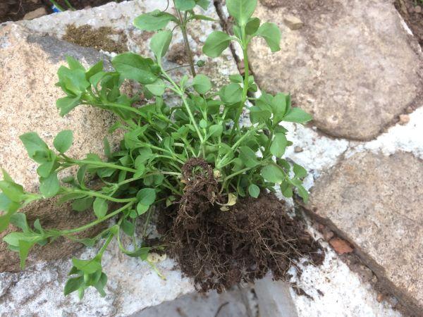 Мокриця де росте і як позбутися від трави на ділянці назавжди