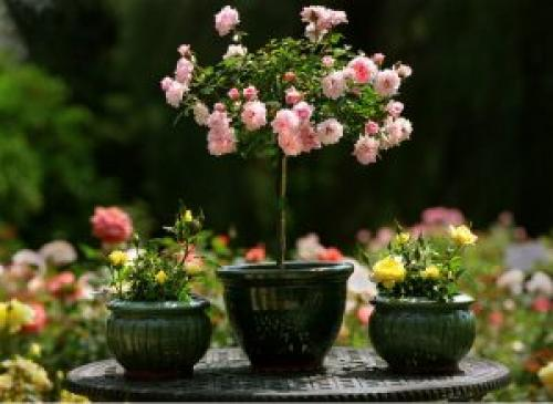 Чи можна посадити садову троянду в горщик будинку