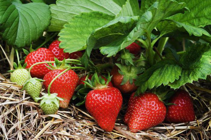 Чи можна садити поруч полуницю різних сортів правила посадки полуниці