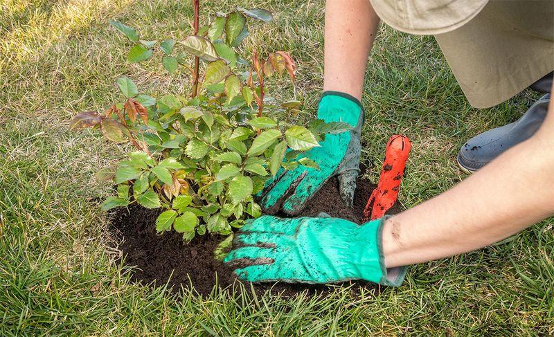 Чи можна садити троянди в серпні і вересні у відкритий грунт в регіонах