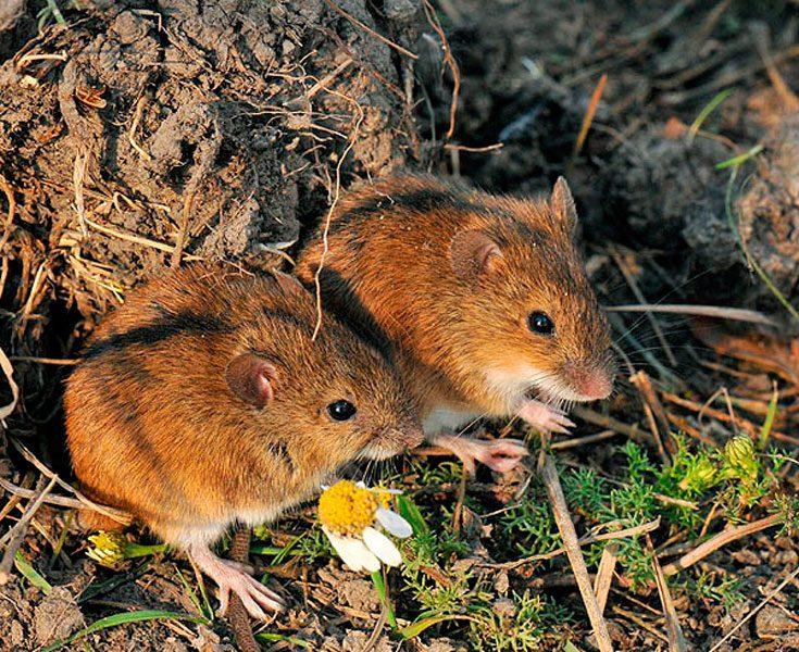 Миша полівка як позбутися на ділянці, способи боротьби