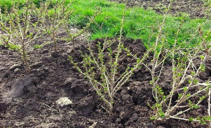 На якій відстані один від одного садять кущі агрусу і смородини, коли садити агрус і зморив