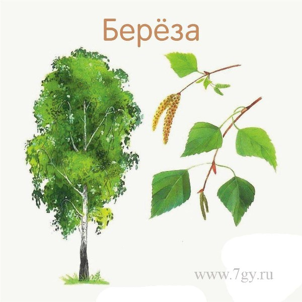 Назви дерев і їх листя