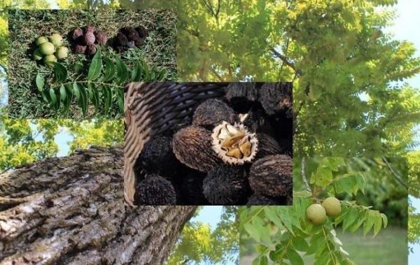 Горіх чорний - посадка і догляд, де росте, плоди, відео