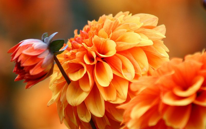 Осінні квіти назва, опис, фото