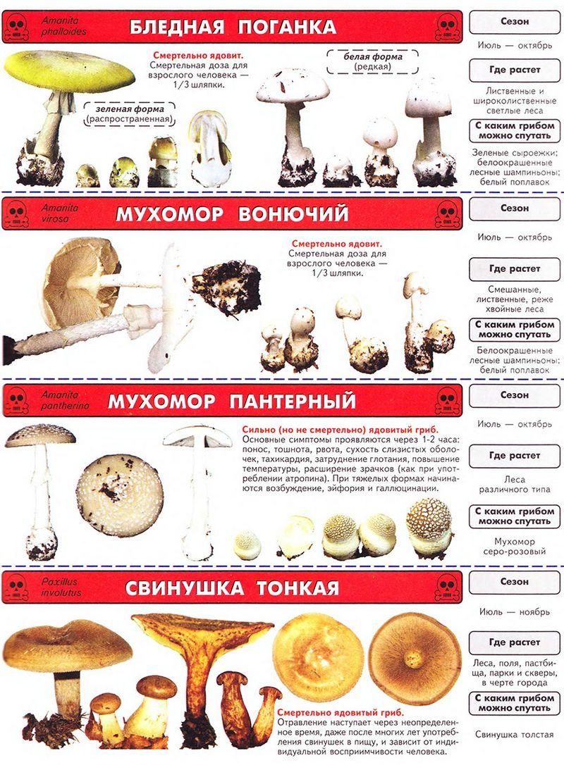 Осінні гриби пластинчасті 38 фото, назви, опис, їстівні та отруйні