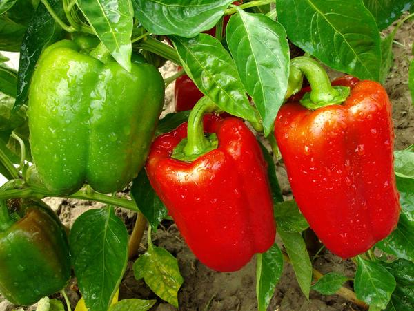 Перець - особливості догляду, посадки і вирощування