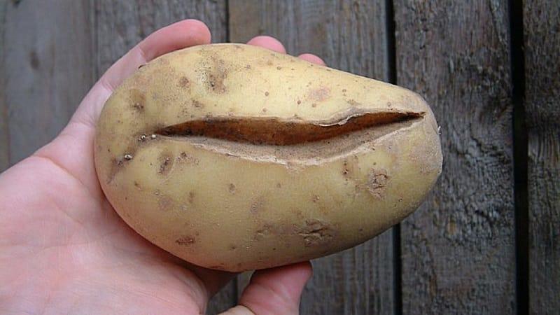 Чому картопля кострубата і потворна причини, за якими бульби нерівній форми і дрібні вродили в з