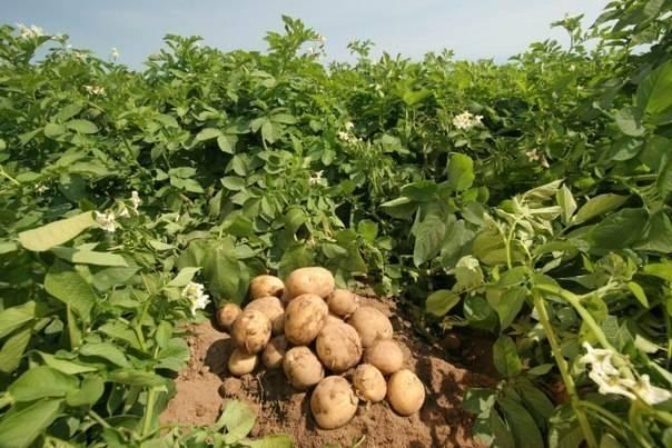 Чому картопля тверда; сад і город