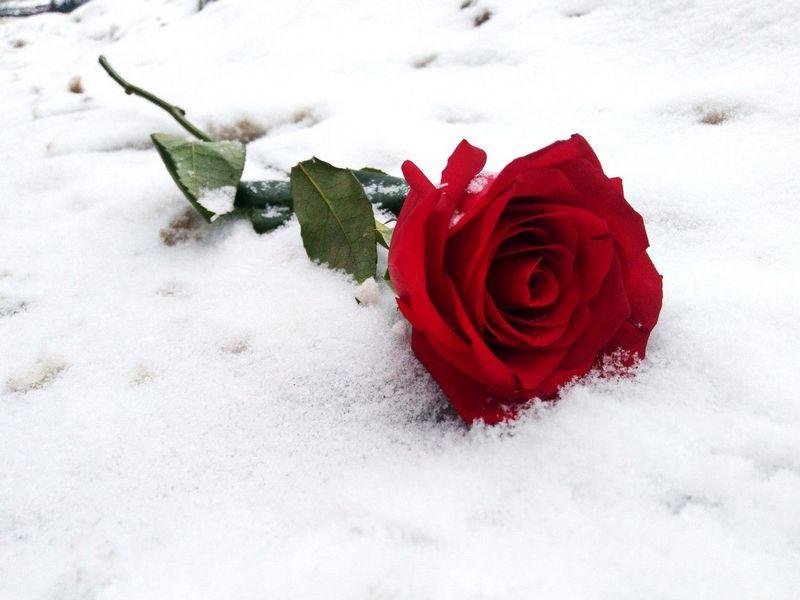 Троянди при якій температурі можуть замерзнути - щоденник садівника