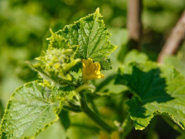 Самозапильних сорти кущових огірків для відкритого грунту вирощування