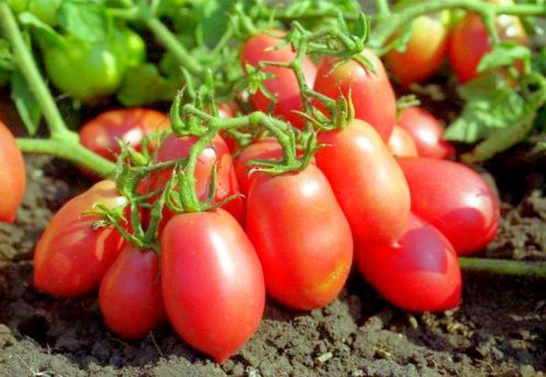 Найурожайніші томати для ленінградської області, сорти для теплиць і відкритого грунту - районування