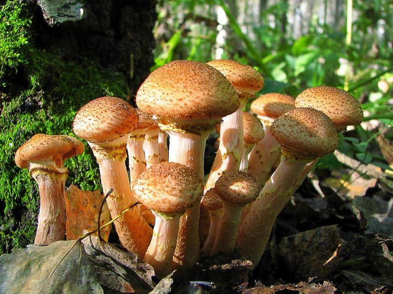 Їстівні гриби опеньки види і різновиди з фото і описом