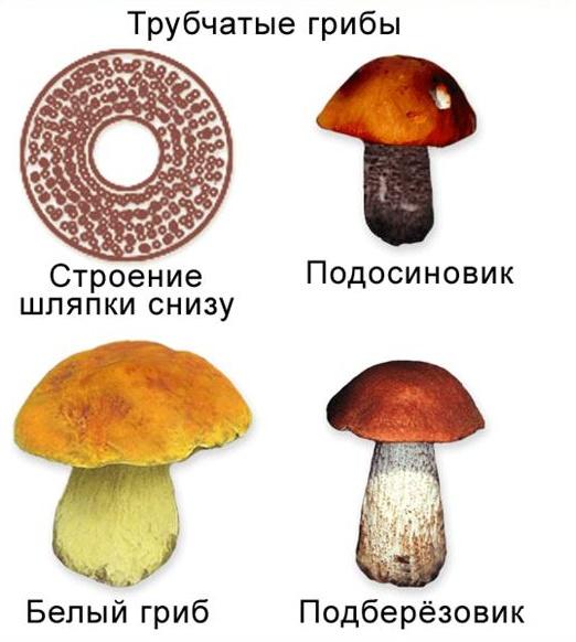 Шапинкових грибів трубчасті і пластинчасті