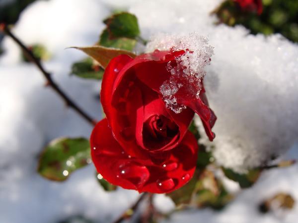 Укриття штамбових троянд на зиму