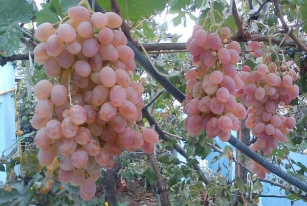 Виноград Тайфі опис, де росте білий і рожевий сорт