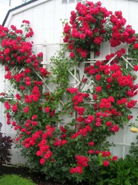Кучеряві квіти для саду (44 фото) тіньолюбиві, багаторічні, однорічні, відео-інструкція по посадці