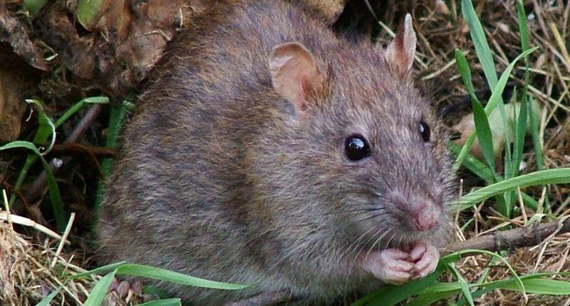 Земляна щур в городі - фото і як позбутися